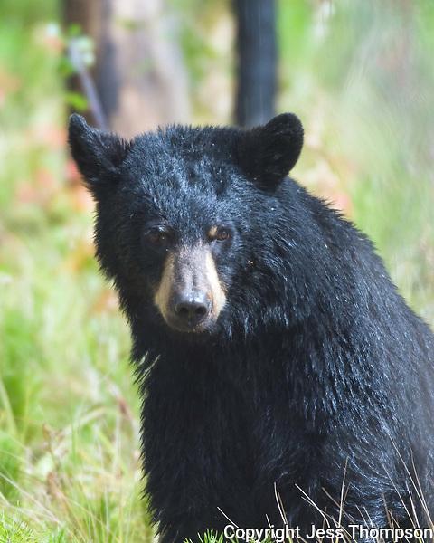 Black Bear, Glacier National Park, Montana