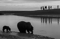 Bear Photo Cubs playing,grizzly, Grizzly Bear or brown bear alaska Alaska Brown bears also known as Costal Grizzlies or grizzly bears Grizzly Bear Photos, Alaska Brown Bear with cubs. Purchase grizzly bear fine art limited edition prints here Grizzly Bear Photo Bear Photos,