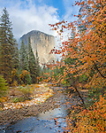 Yosemite National Park, CA; A view of El Capitan along the Merced River with a dogwood in fall color.