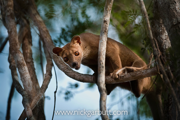 Adult female fosa (Crytoprocta ferox) (sometimes incorrectly Fossa) climbing vines to reach its favoured mating tree. Kirindy Forest, western Madagascar.