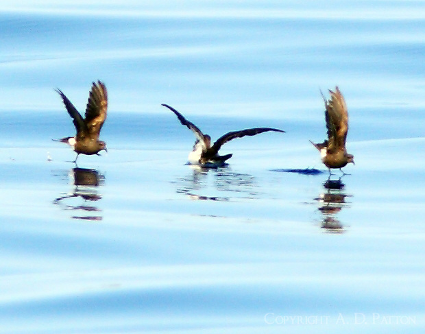 Leach's storm-petrels dancing on water with am pair of shearwaters