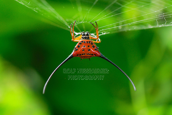 .Orb-Web Spiny Spider (Gasteracantha arcuata), adult, Danum Valley Conservation Area, Sabah, Borneo, Malaysia
