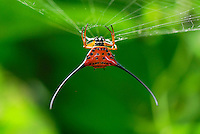 .Orb-Web Spiny Spider (Gasteracantha arcuata), adult, Danum Valley Conservation Area, Sabah, Borneo, Malaysia