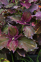 Coleus (Solenostemon) 'Crimson Velvet'