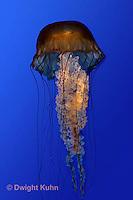 EC11-502z  Sea Nettle Jellyfish swimming in ocean, Chrysaora spp.