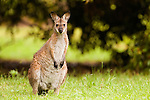 Red-necked Wallaby (Macropus rufogriseus), Bawley Point, New South Wales, Australia