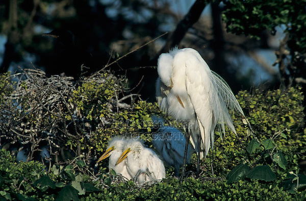 Great Egret, Ardea alba, nest with young, High Island, Texas, USA