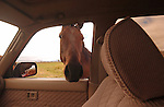 A CURIOUS HORSE LOOKING IN THE CAR WINDOW