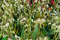 Spider Orchid Brassia rex many flowers with long petals and sepals green, yellow, brown, spots, masses