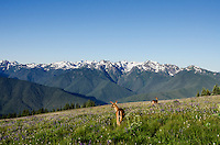 Two Columbian black-tailed deer (Odocoileus hemionus columbianus) does in subalpine meadow with Olympic Mountains in background.  Olympic National Park, WA.  Summer.