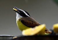 CALI – COLOMBIA - 25-11-2016: Bichofue Griton especie de ave presente en el norte de Cali. / Bichofue Griton bird species present in western Cali Cali. Photo: VizzorImage/ Luis Ramirez / Staff.