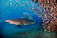 sand tiger sharks, Carcharias taurus (formerly Odontaspis/ Eugomphodus) wreck of the Papoose, N. Carolina, Atlantic Ocean