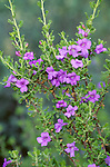 9041-CF Chihuahuan Sage, Leucophyllum laevigatum flowers, foliage, at Bakersfield, CA USA.