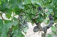 Merlot vines. Veraison, grape colouring. Chateau Jonqueyres, Bordeaux Superieur, Entre deux Mers, Bordeaux, France