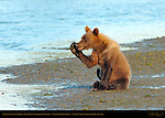 Alaskan Coastal Brown Bear Cub Whispering Secrets, Silver Salmon Creek, Lake Clark National Park, Alaska