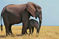African Elephant mother and calf in Matsusadona National Park, Zimbabwe.