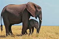 African Elephant mother and calf in Matsusadona National Park, Zimbabwe.