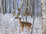 White-tailed doe and fawn in a winter woodland.