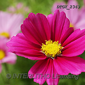 Gisela, FLOWERS, BLUMEN, FLORES, photos+++++,DTGK2343,#F#, EVERYDAY