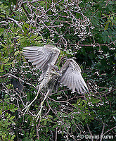 0117-08pp  Black-crowned Night Heron - Nycticorax nycticorax © David Kuhn/Dwight Kuhn Photography