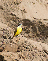 Great Kiskadee, Pitangus sulphuratus, on the bank of the Tarcoles River, Costa Rica