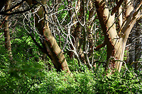 Pacific madrone forest on Saddlebag Island, Saddlebag Island Marine State Park, Washington, USA
