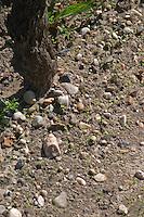 Soil detail. Stony. Sand. Sauvignon Blanc. Chateau Guiraud, Sauternes, Bordeaux, France