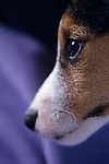 Jack Russell Terrier alertl expression on face