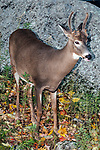 Whitetail Deer buck, full body view 45 degrees to camera, vertical.