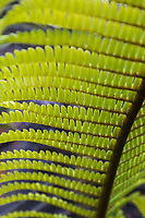 Close-up of of a fern frond at Hawai'i Volcanoes National Park, Big Island.