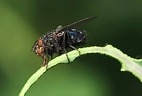 Common Flesh Fly (Sarcophaga carnaria)....Copyright..John Eveson, Dinkling Green Farm, Whitewell, Clitheroe, Lancashire. BB7 3BN.01995 61280. 07973 482705.j.r.eveson@btinternet.com.www.johneveson.com