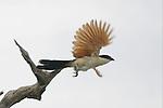 Senegal coucal (Centropus senegalensis), Kwara Reserve, Okavango Delta, Botswana