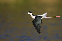 Black-necked Stilt (Himantopus mexicanus mexicanus), Black-necked subspecies, male in flight at the Salton Sea State Recreation Area, Mecca, California.