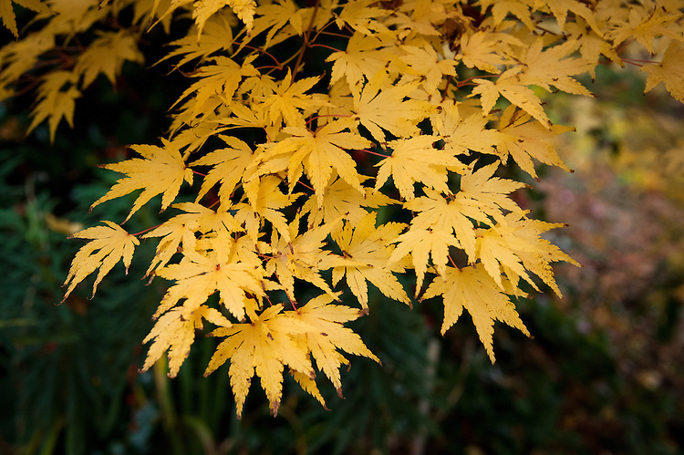 Acer palmatum 'Sango-Kaku', early November. Sometimes grown as much for its bright, coral pink to red stems as for its foliage.