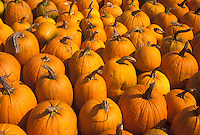 AJ4582, autumn, pumpkins, A close-up of large amount of pumpkins for sale.