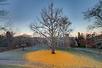 The University of Virginia gingko tree after leaves have fallen on central grounds.