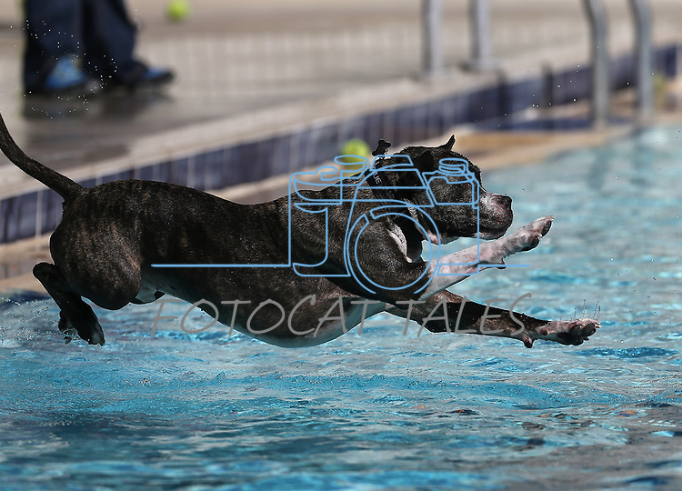 Mac plays at the 9th annual Pooch Plunge at the Carson City Aquatics Center in Carson City, Nev., on Saturday, Sept. 23, 2017. The event is a fundraiser for Carson Animal Services Initiative which supports the Nevada Humane Society in Carson City. <br /> Photo by Cathleen Allison/Nevada Photo Source