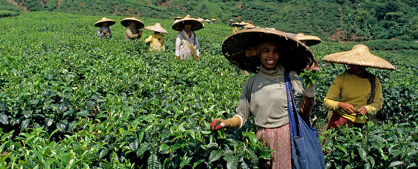 Images from the Book Journey Through Colour and Time, a tea plantation in central Java, Indonesia, Girls picking tea