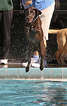 Lucy leaps into the pool during the second annual Pooch Plunge at the Carson City Aquatic Center in Carson City, Nev., on Saturday, Sept. 18, 2010..Photo by Cathleen Allison