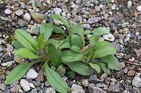 Vergissmeinnicht, Blatt, Blätter vor der Blüte, Myosotis spec., forget-me-not, scorpion grass