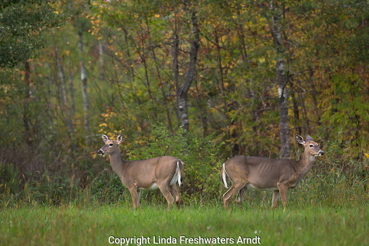 Two white-tailed does in a Wisconsin field.