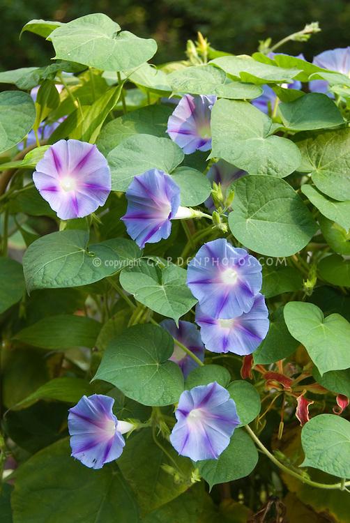 Blue star Morning Glories (Ipomoea)