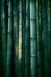 Beautiful Bamboo forest in dramatic morning light, abstract dark green culms of bamboos in Arashiyama, Kyoto, Japan. Image © MaximImages, License at https://www.maximimages.com