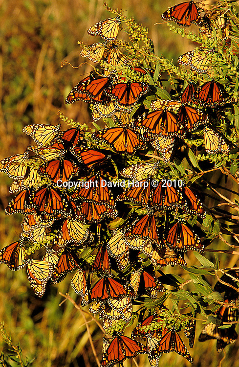 Monarch butterflies cling to a cedar tree near a Chesapeake Bay marsh for a rest during their long migration to Mexico, where they winter