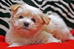 Bella. Maltese Silky Terrier Cross