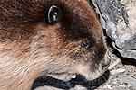 North American Beaver eating, close-up