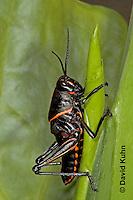 "0721-07oo  Eastern Lubber Grasshopper - Romalea guttata ""Nymph"" © David Kuhn/Dwight Kuhn Photography"