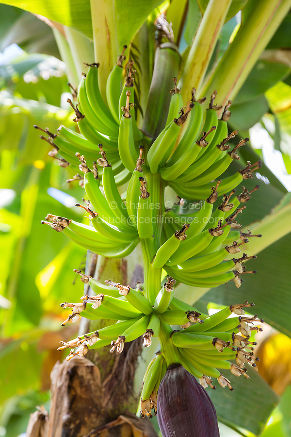 Tanzania.  Mto wa Mbu. Banana Plantation, Banana Bunch in Early Stage of Formation.