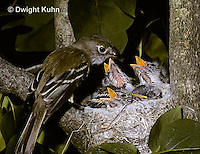 FC01-001x  Least Flycatcher - adult feeding young on lilac tree - Empidonax minimus