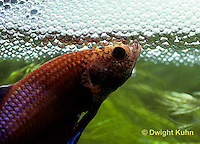 BY03-075z  Siamese Fighting Fish - male making protective bubble nest for eggs - Betta splendens